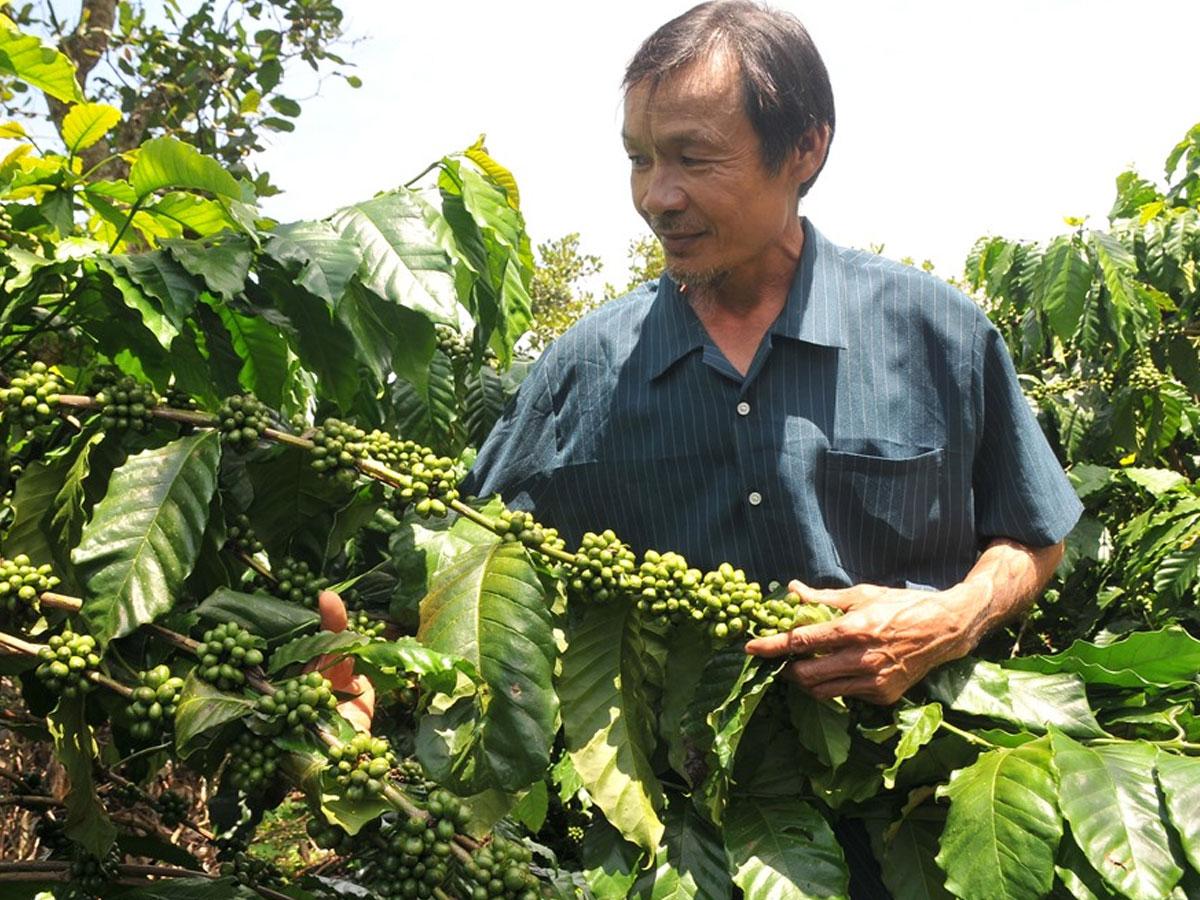 Minh Chứng Cho Sự Thành Công Của Café Sạch Từ Lão Nông Tây Nguyên