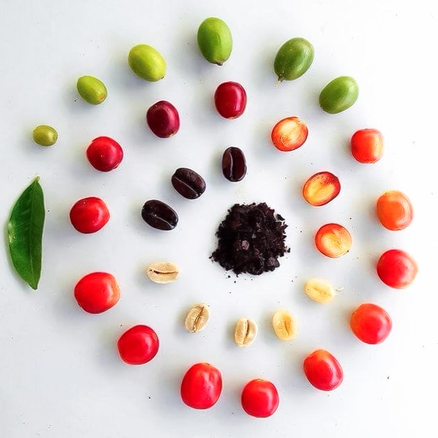 Tìm hiểu cấu tạo quả cà phê – thành phần và hương vị của quả café